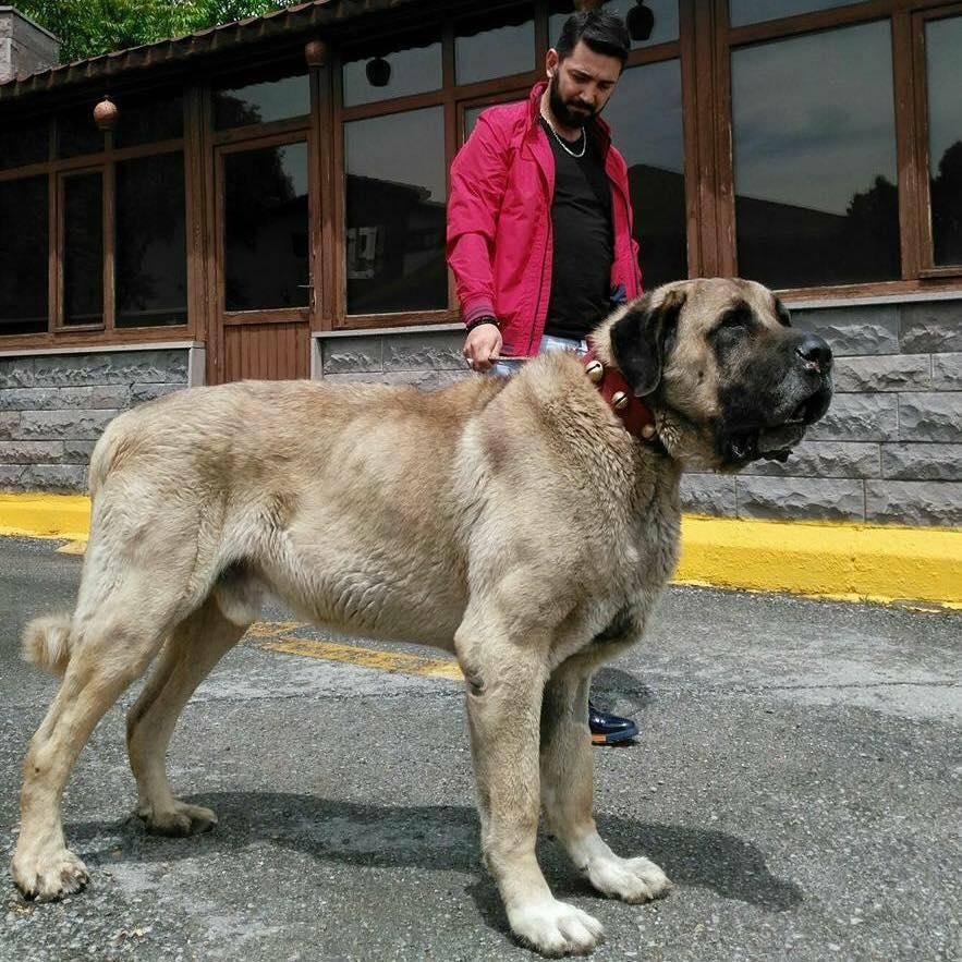 Порода собак турецкий кангал — история, описание, особенности ухода