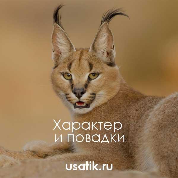 Каракал кошка: описание породы