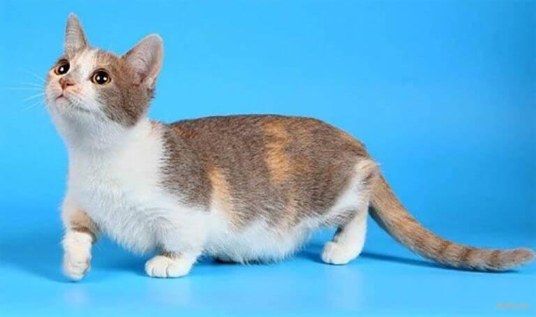 Манчкин — кошка-такса, кошка-сорока, кошка-кенгуру