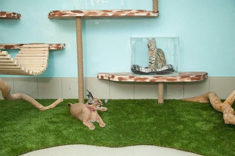 Бизнес на разведении кошек в домашних условиях для начинающих: с чего начинать