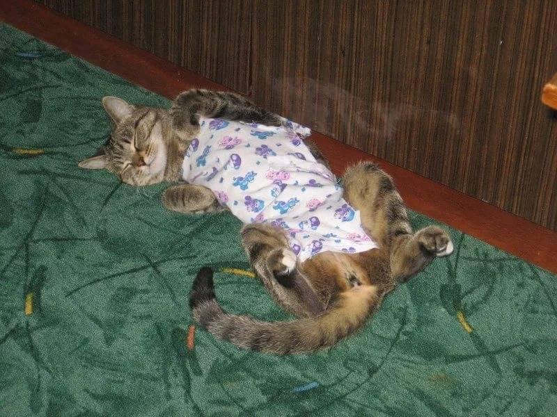 Сколько длится течка у кошек - как часто у кошек бывает течка