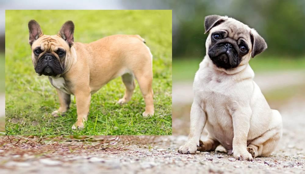 Английский и французский бульдог: различия во внешнем виде и в чертах характера и какую породу лучше выбрать для дома