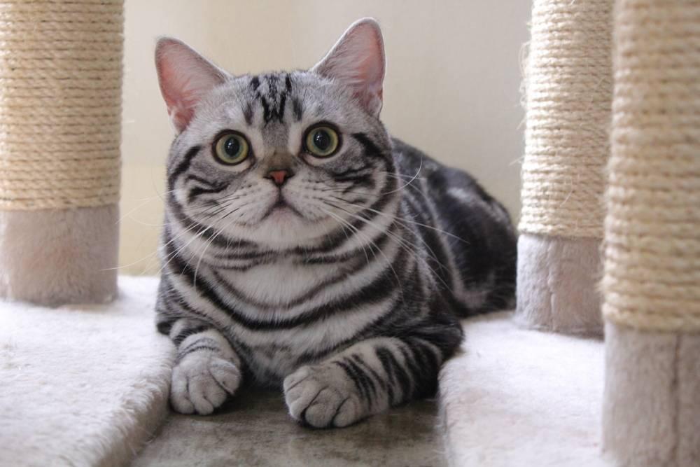 Американская короткошерстная кошка и гладкошерстные коты-американцы