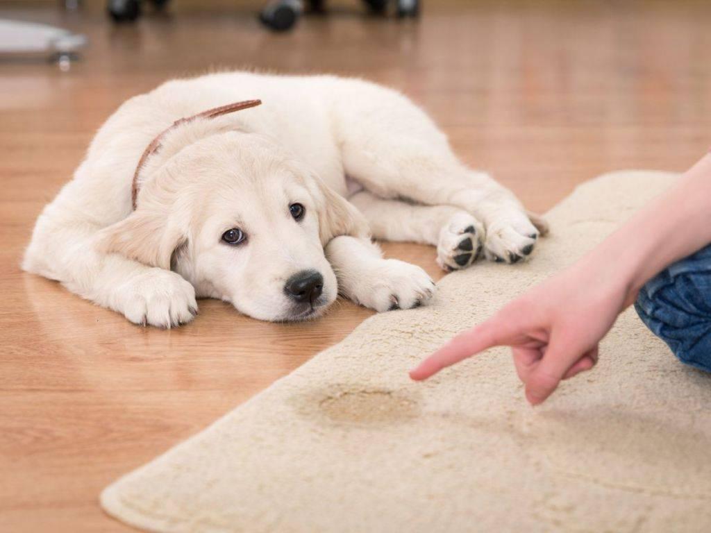 Собака метит все в квартире? простые решения этой проблемы