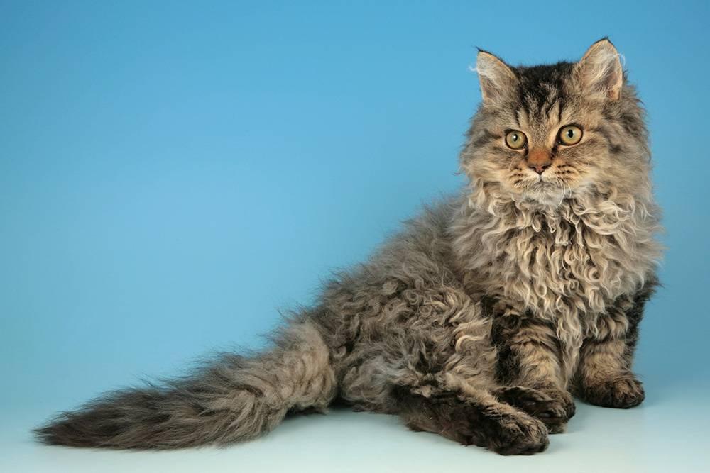 Порода японский бобтейл: особенности внешности и характера, фото кошки и отзывы владельцев кота, уход за питомцем дома