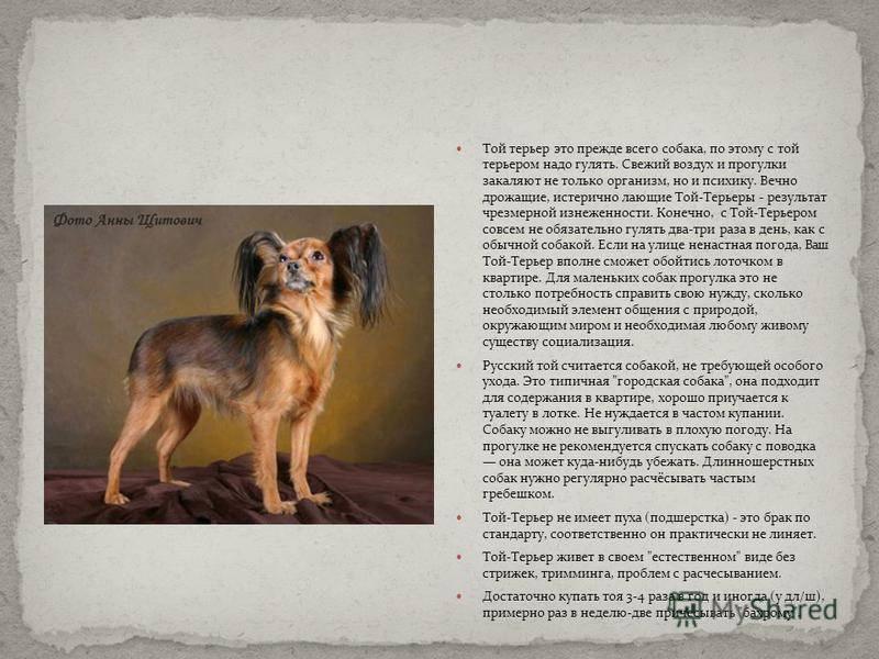 Особенности содержания русского той-терьера в домашних условиях