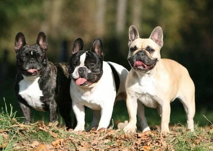 Дог: виды и рекомендации по содержанию собак