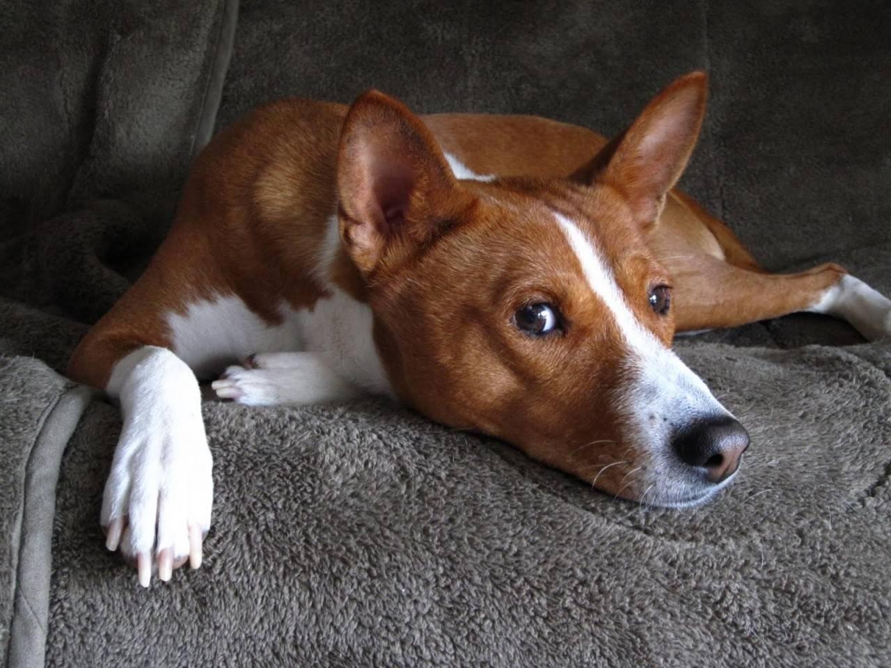 12 самых тихих пород собак, которые практически не лают