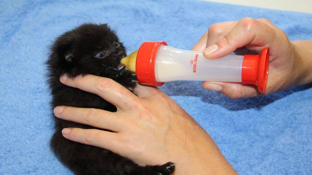 Как выкормить новорожденного котенка без кошки: основные принципы
