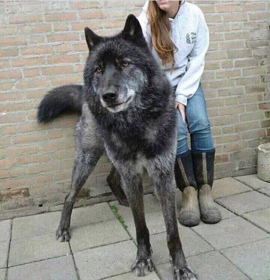 Хищник на службе: волкособ – помесь волка и собаки, описание и характеристика породы