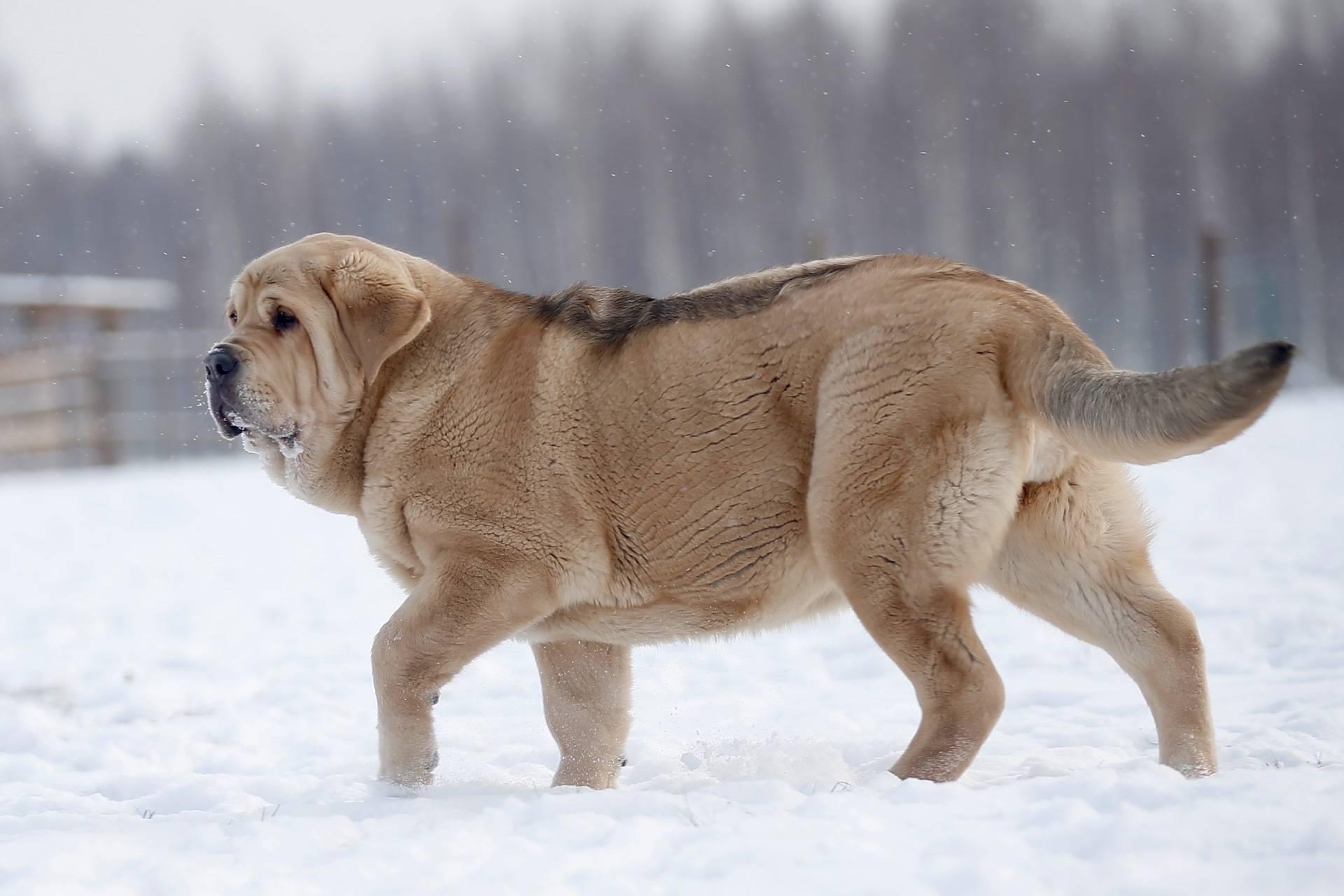 Характеристика собак породы алано (испанский бульдог) с отзывами и фото