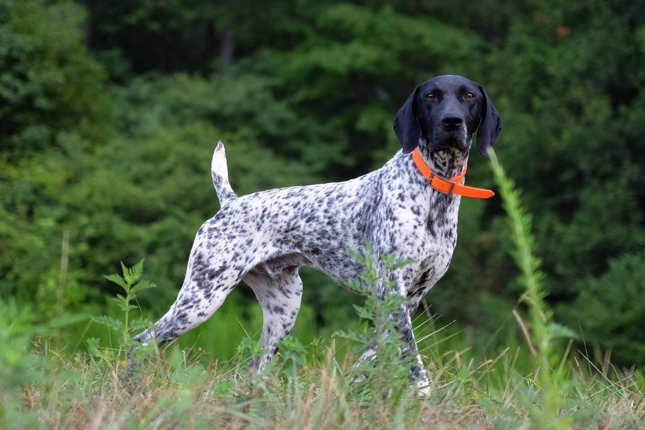Стандарт породы собак курцхаар и отличие от дратхаара.
