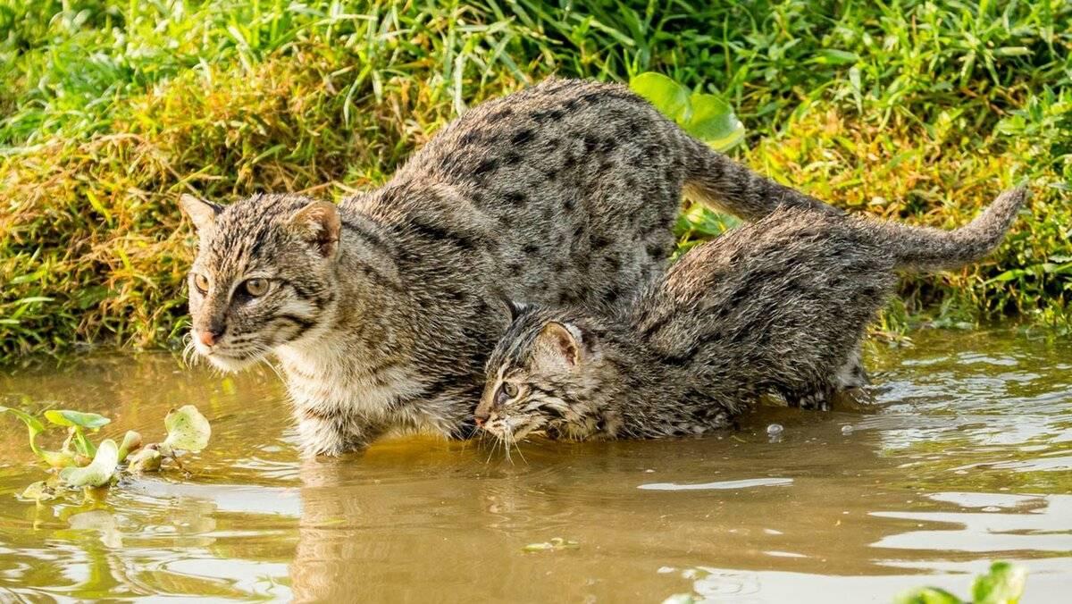 Кошка-рыболов (виверровый кот-рыболов)