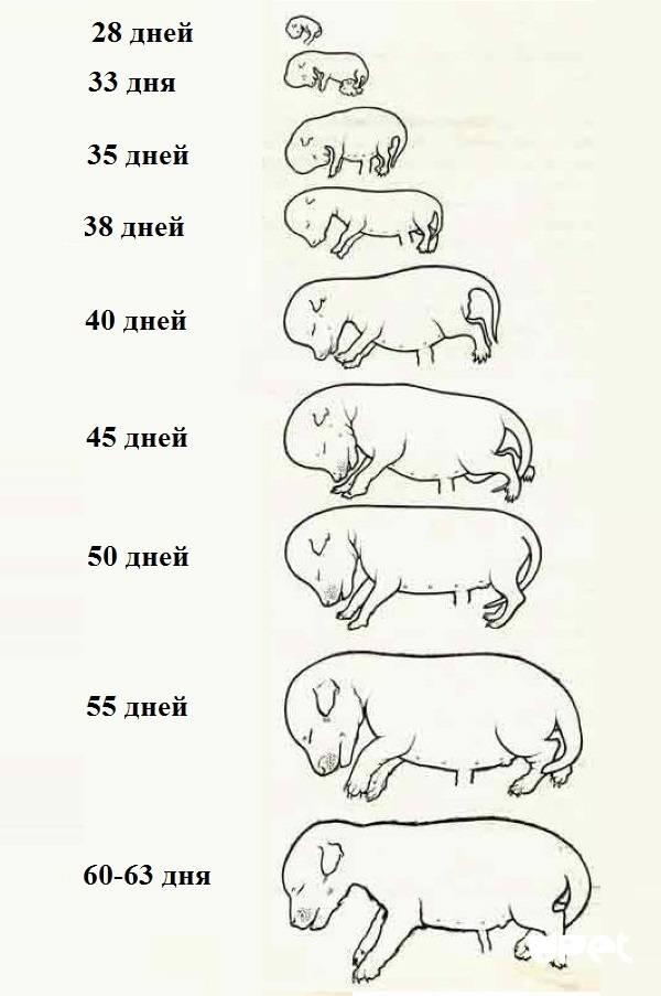 Сколько длится беременность у собак?