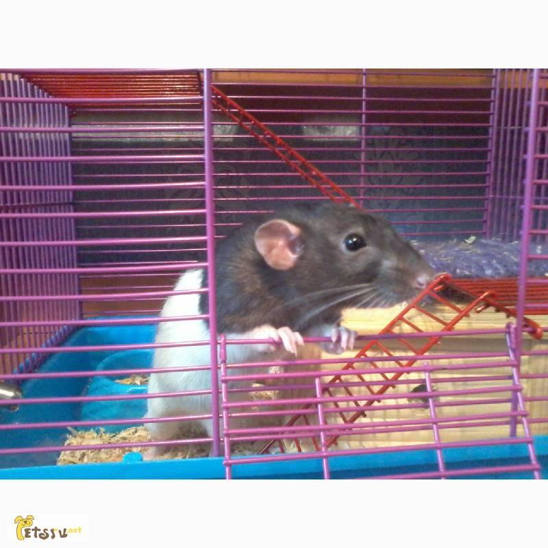 Сколько стоит домашняя крыса и дорого ли ее содержать?