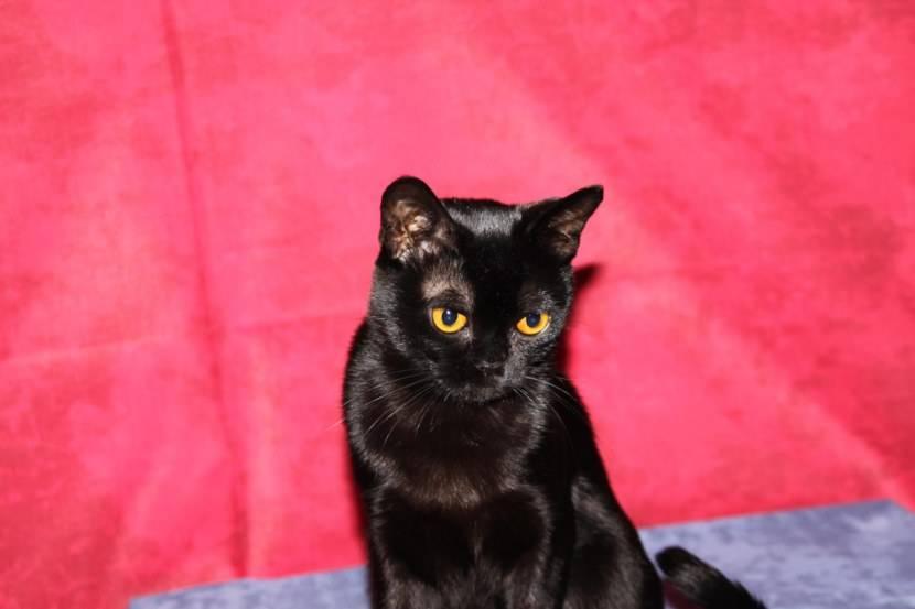 Бомбейская кошка. описание, особенности, цена и уход за бомбейской кошкой   животный мир