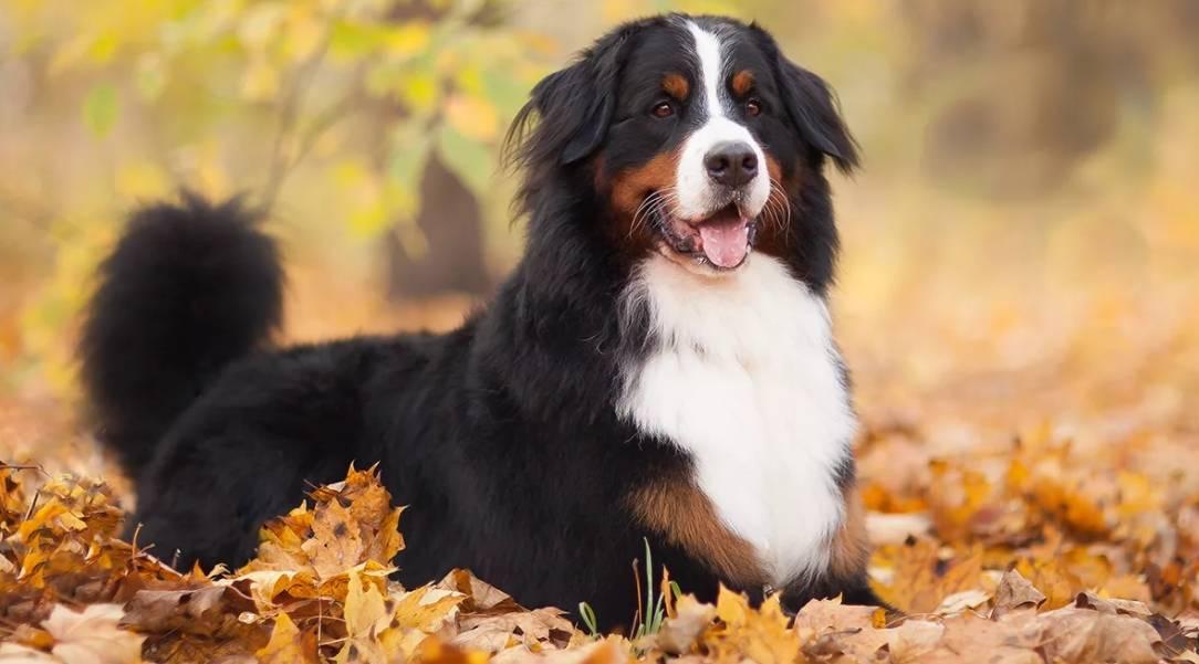 Бернский зенненхунд собака. описание, особенности, уход и цена породы   sobakagav.ru