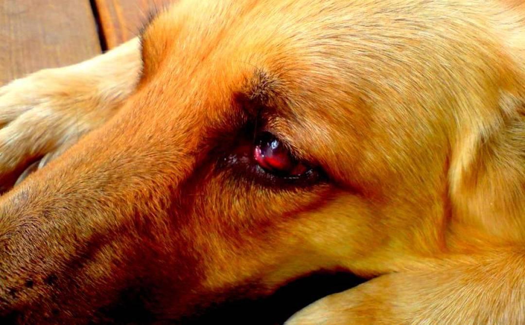 Почему у собаки слезятся глаза: чем промывать, лечение.