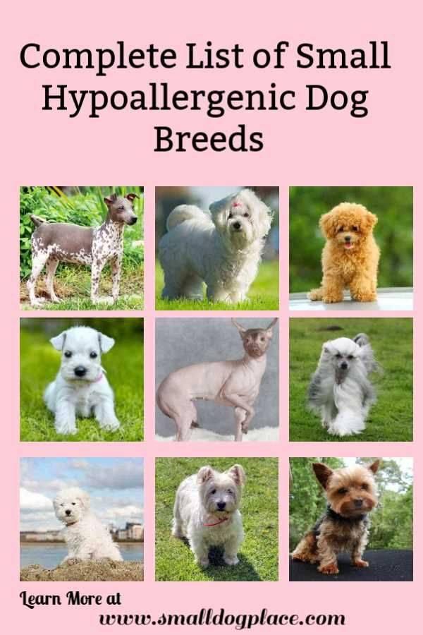 50 гипоаллергенных пород собак для чувствительных владельцев (полный список)