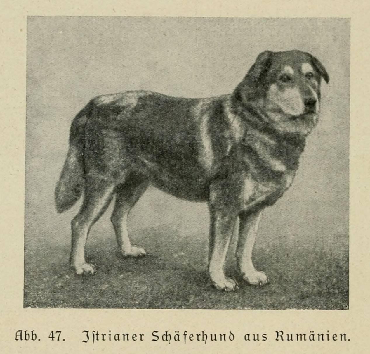 Анатолийская овчарка собака. описание, особенности, характер, уход и цена породы
