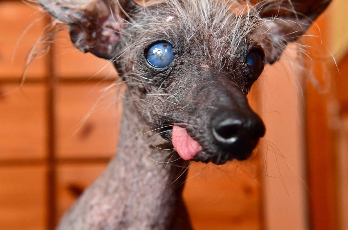 Некрасивые породы собак: фото, внешний вид и особенности