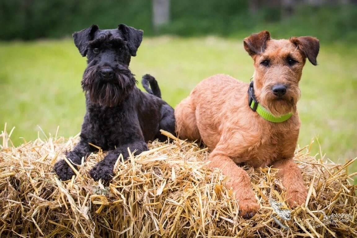 Ирландский терьер — до безрассудства смелая собака ⋆ собакапедия