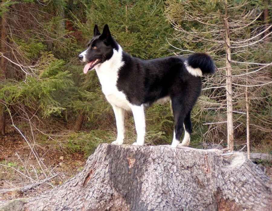 Карельская медвежья собака: описание, фото, цена щенков, особенности ухода за породой