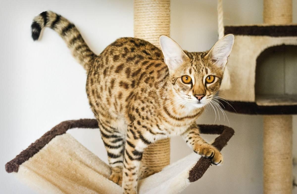 Пятнистая кошка: фото и название пород больших домашних котов с пятнами