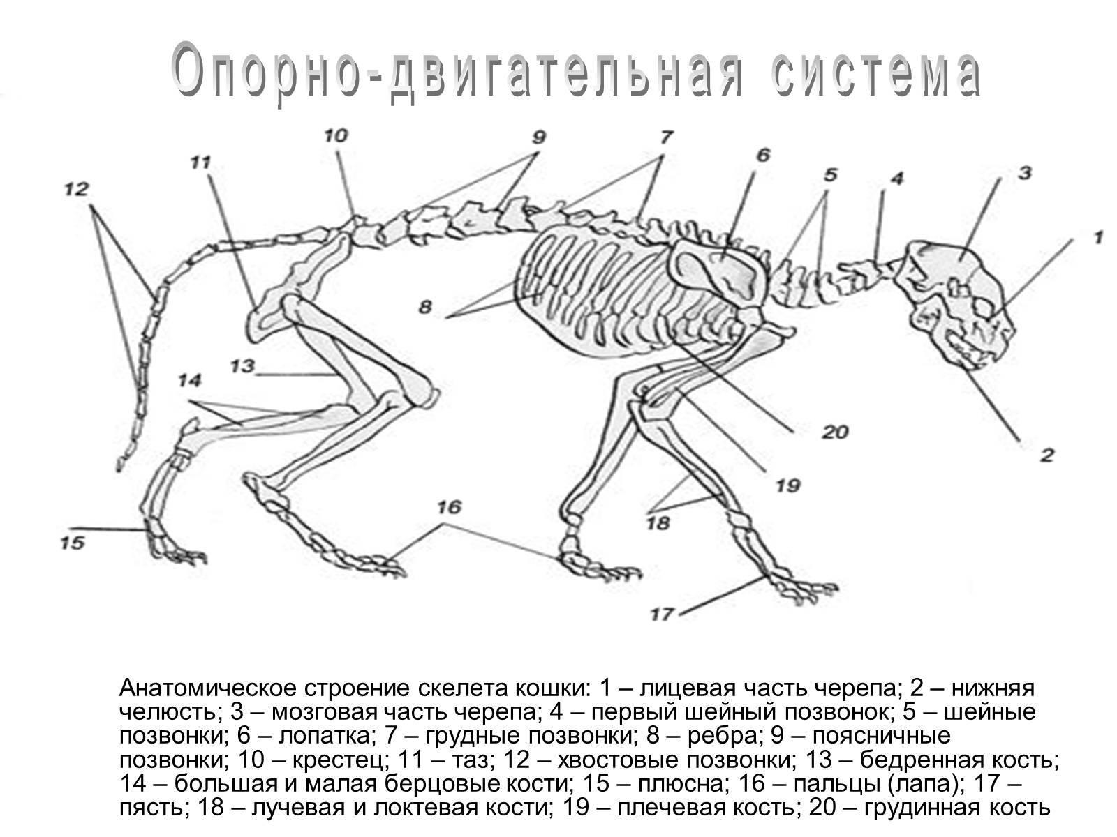 Строение скелета кошки – скелет котенка