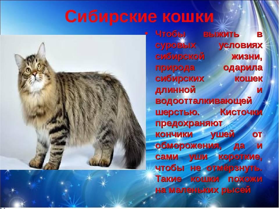 Сибирские коты: фото, особенности породы, здоровье и болезни