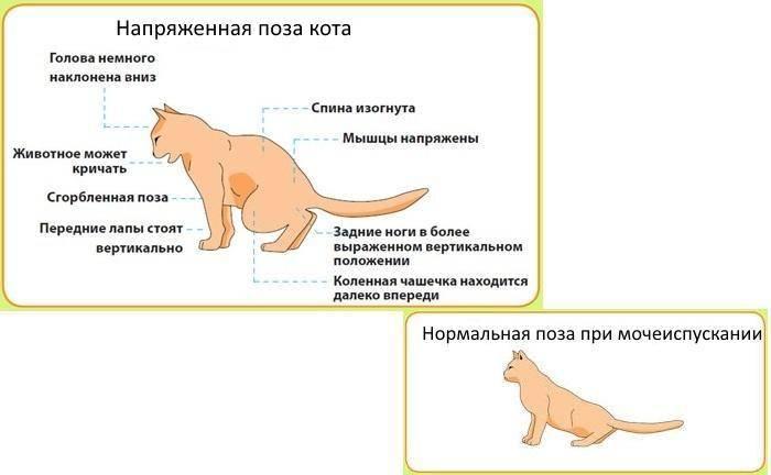 Мочекаменная болезнь у кошек - симптомы, лечение, профилактика