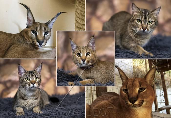 Кошка каракет: описание породы, содержание и уход, здоровье, цена
