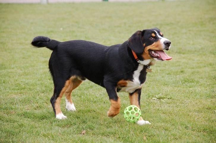 Энтлебухер зенненхунд – фото собаки, описание породы, цена щенков