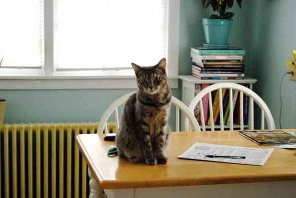 Как отучить кота лазить по столам? как отучить котенка запрыгивать и ходить по столу? какие существуют причины лазанья по столам? советы специалистов