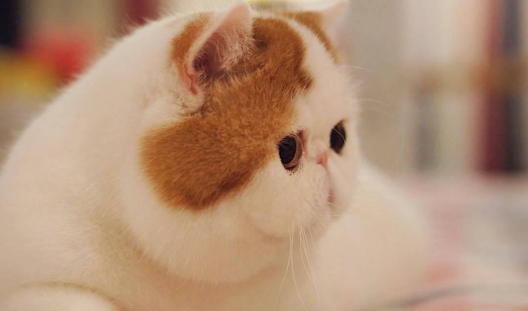 Самая очаровательная кошка – экзотическая короткошёрстная