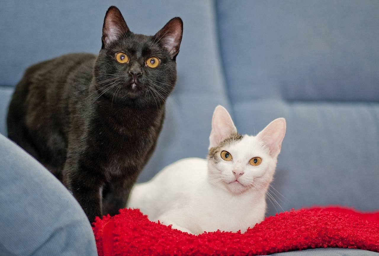 Британские короткошерстные кошки: особенности породы, вариации окраса и правила содержания