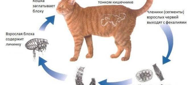 Подкожные клещи у кошек, заражение, диагностика и лечение