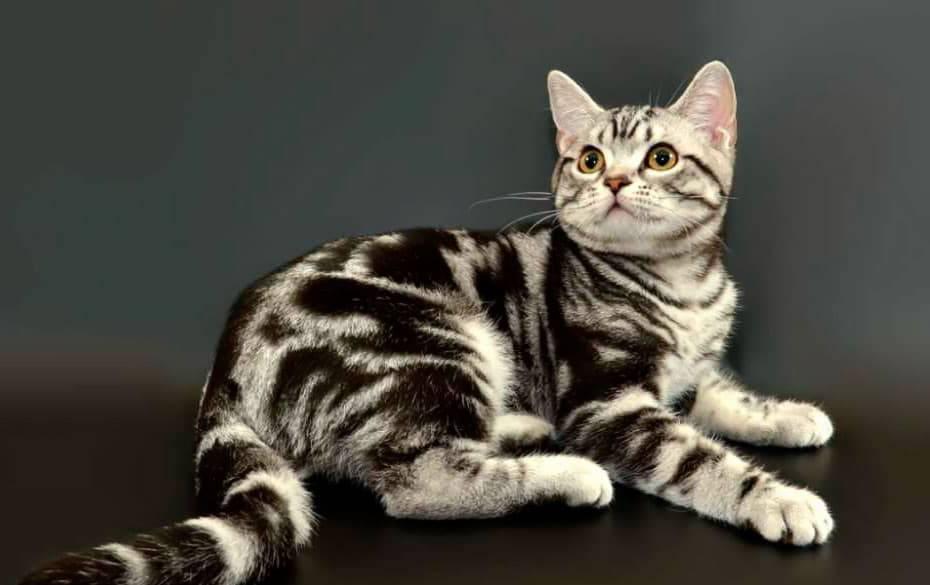 Американская короткошерстная кошка: описание породы, характер и уход