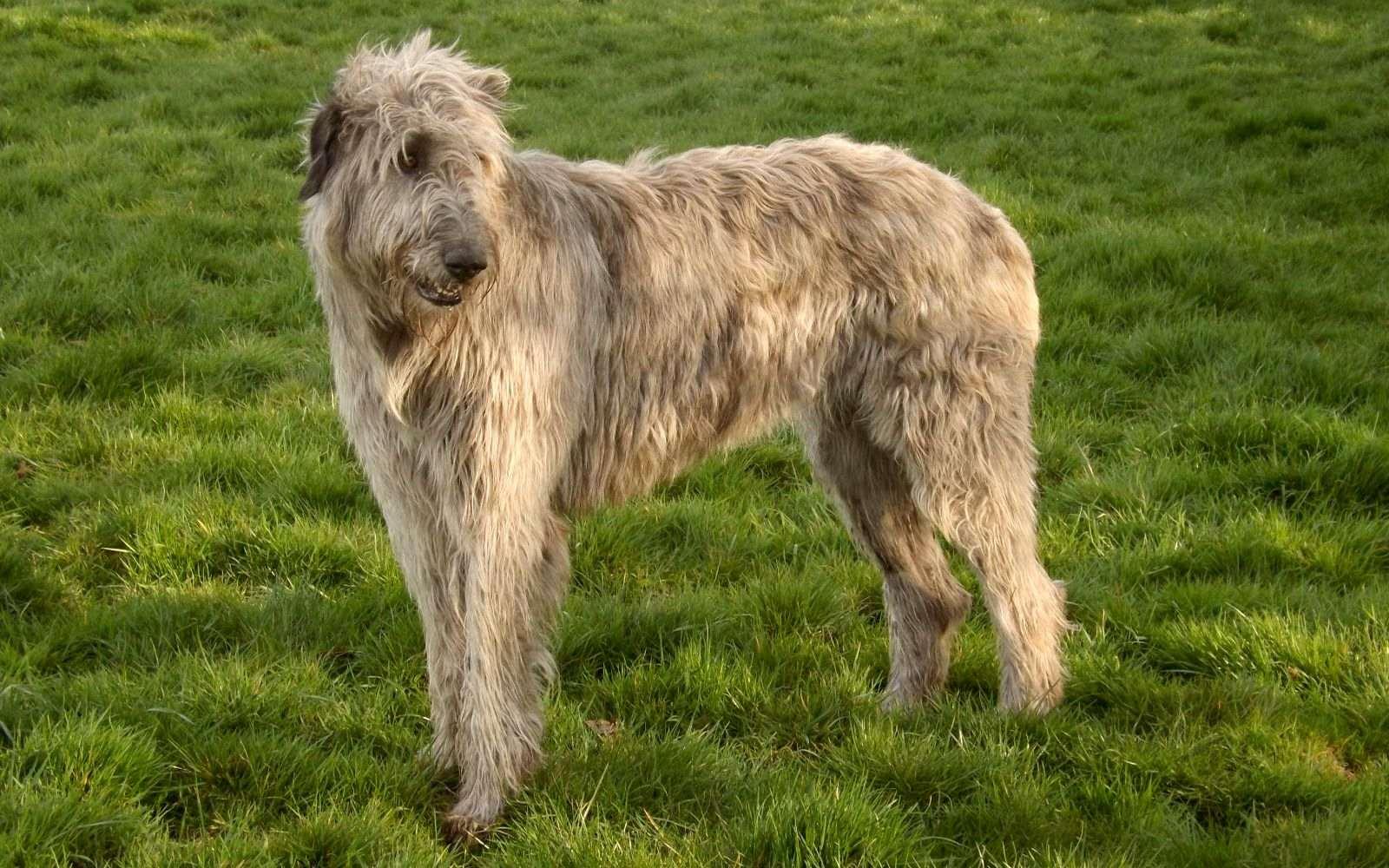 Ирландский волкодав: описание породы собак