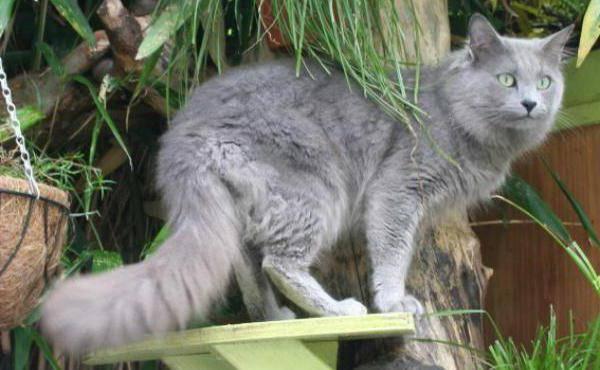Нибелунг (порода кошек)