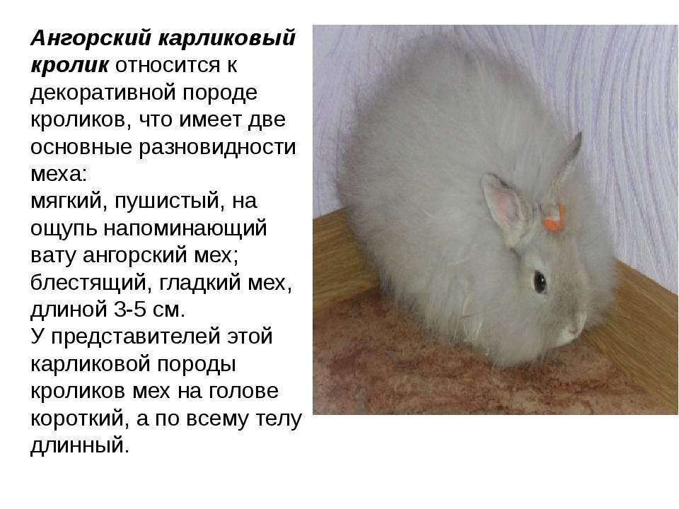 Ангорские кролики (36 фото): описание английской декоративной, немецкой и других видов породы ангора. сколько живут карликовые кролики? интересные факты