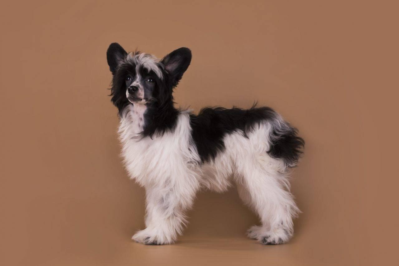 Китайская хохлатая собака: история породы, уход, содержание, фото
