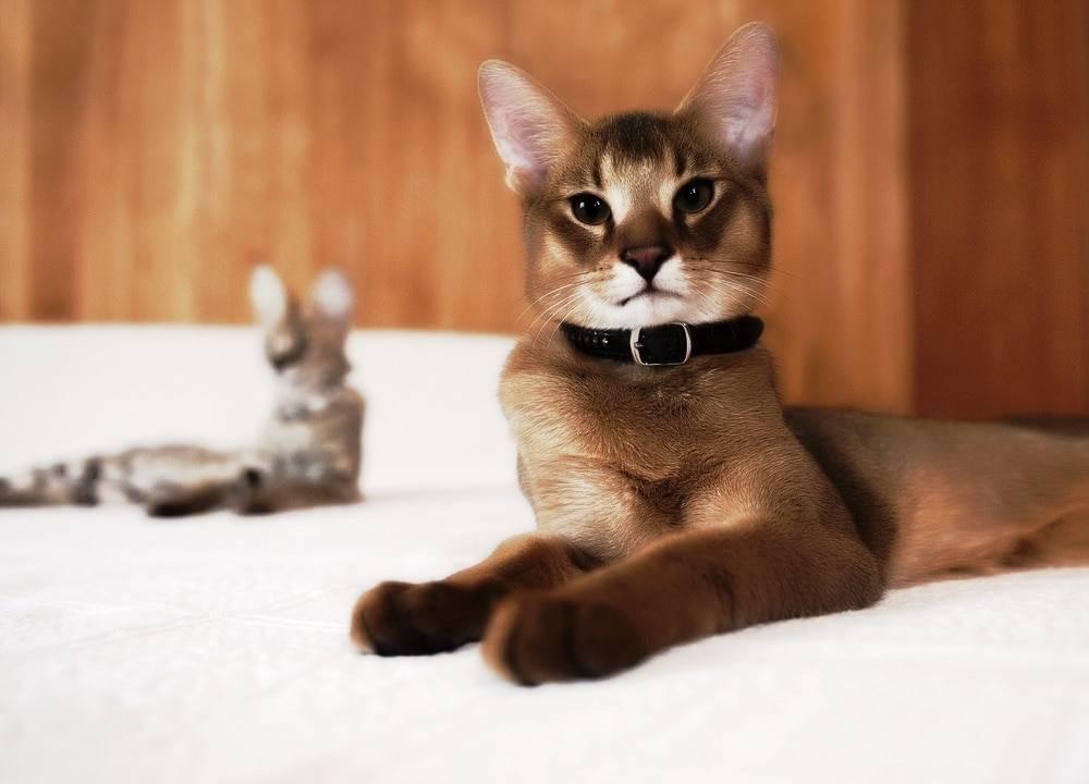 Камышовая кошка (хаус): породы котов хауси с фото и видео