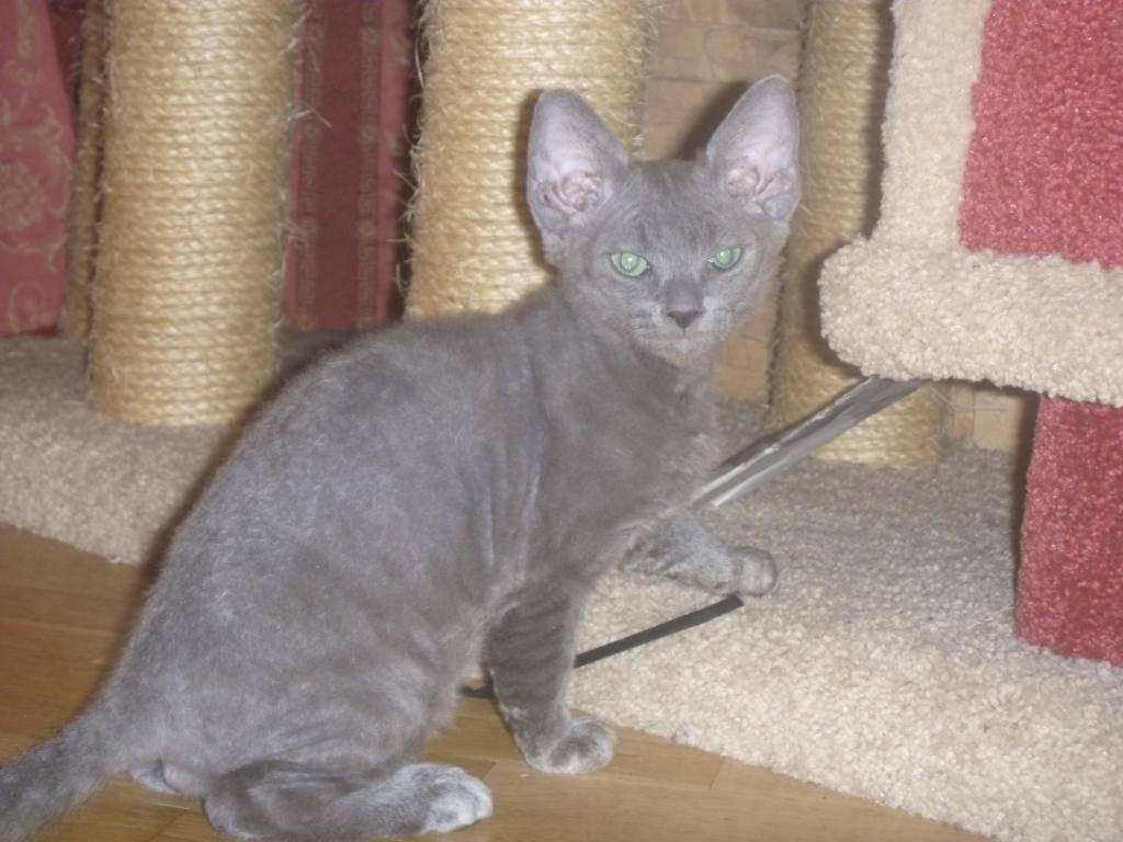 Помесь сиамской и сибирской кошки