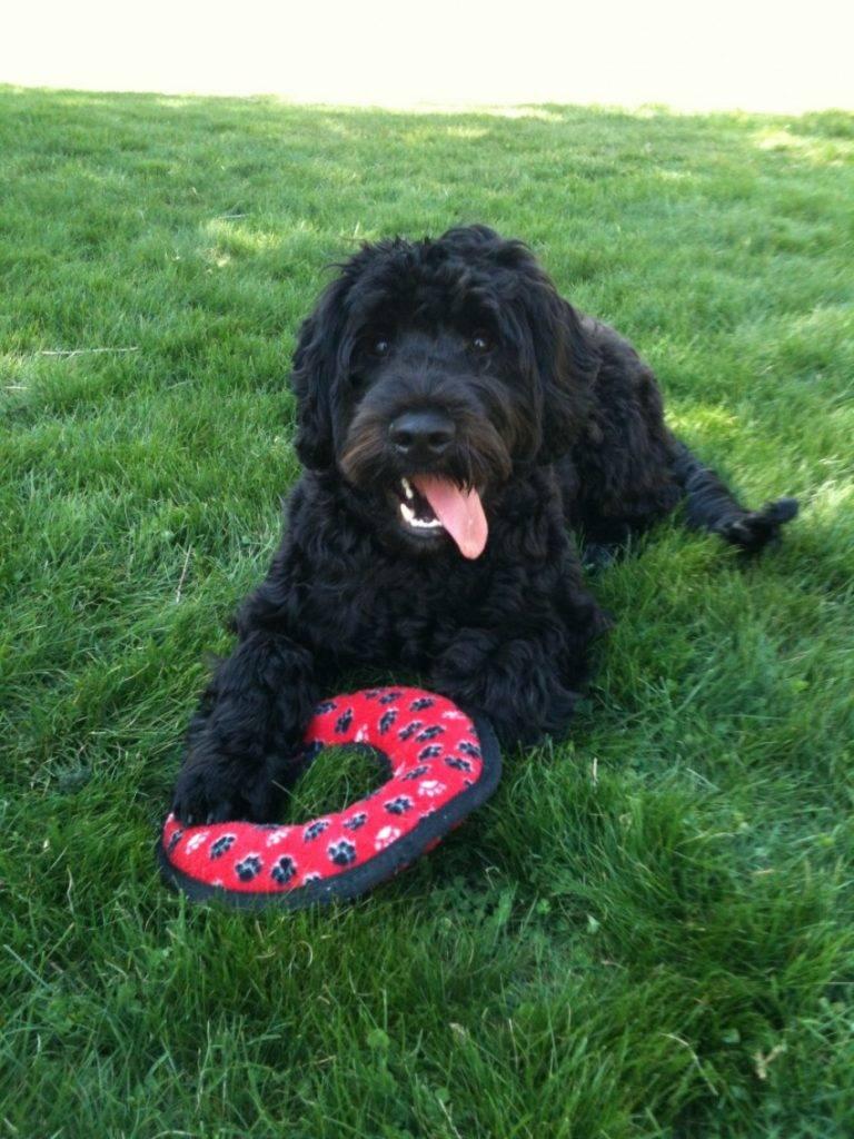 Португальская водяная собака (30 фото): описание породы португальский вассерхунд, особенности содержания собак