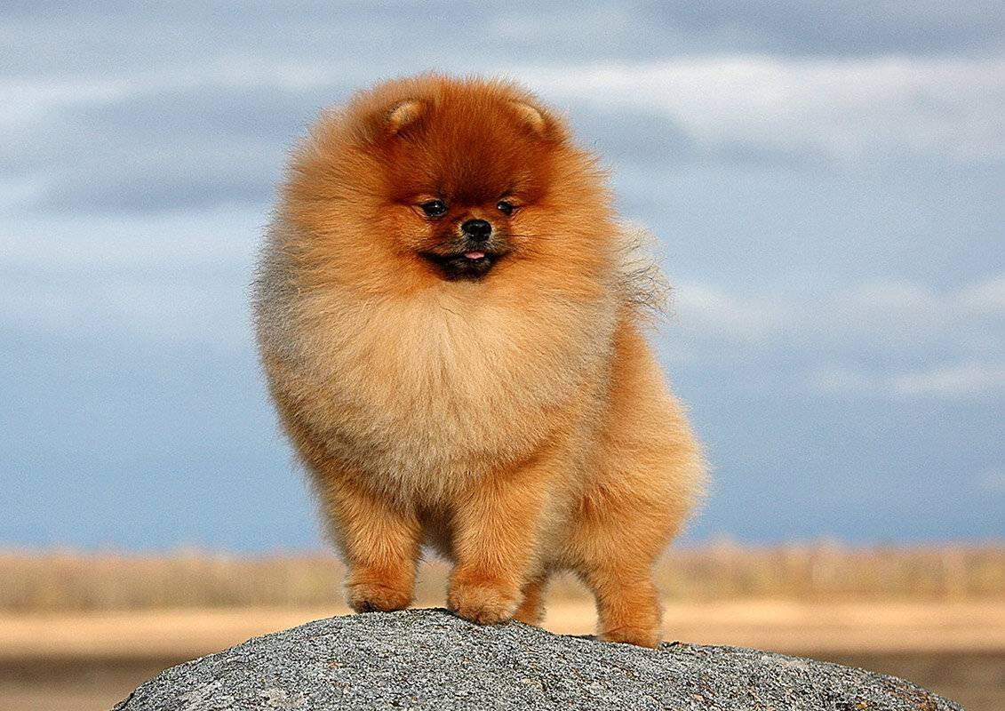 Описание породы мини шпицев: обзор самых маленьких собак померанцев