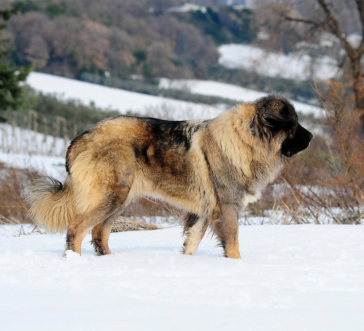 Каких собак называют волкодавами: список пород