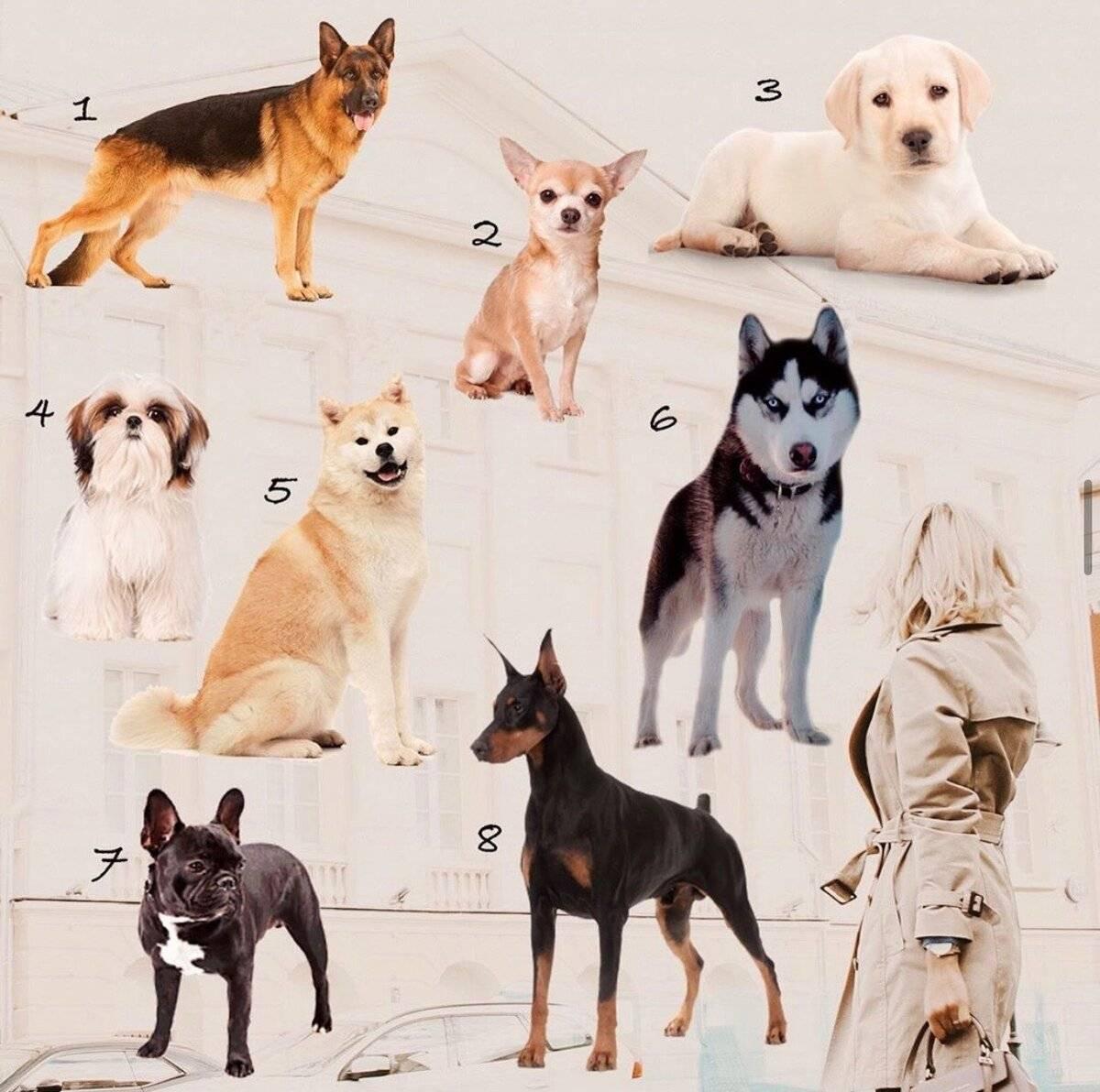 Породы собак для квартиры (66 фото): какую лучше завести? как выбрать спокойную домашнюю собаку? правила содержания квартирных собак