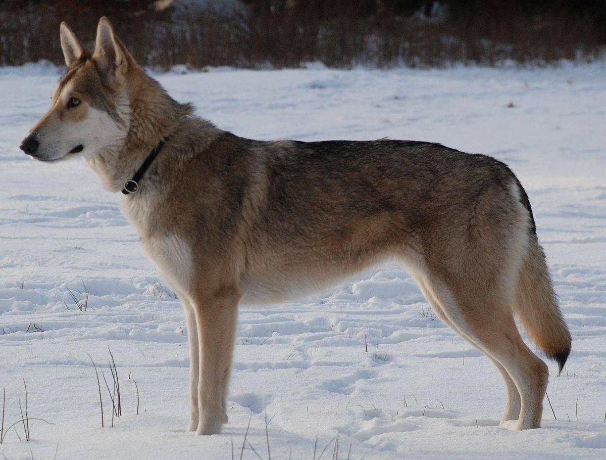 Все о волчьих собаках сарлоса