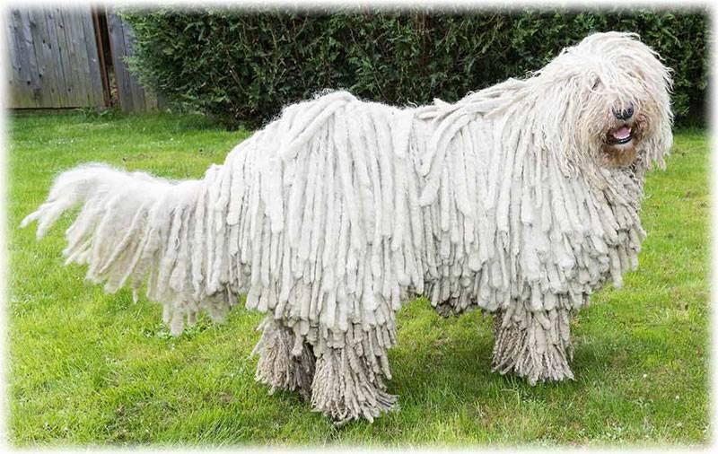 Собаки с дредами: виды и содержание